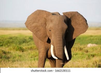 Elephant in Amboseli Nationalpark, Kenya, Africa