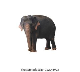 Elephant Asian isolated on white