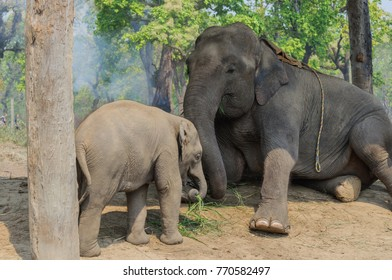 Elephant and baby elephant eating grass. Chitwan National Park,Nepal