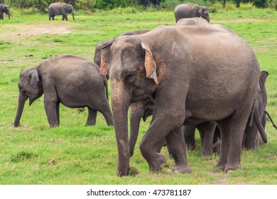 Elephant with baby elephants eat grass