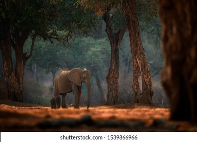 Elephant baby. Elephant at Mana Pools NP, Zimbabwe in Africa. Big animal in the old forest, evening light, sun set. Magic wildlife scene in nature. African elephant in beautiful habitat. Young pup.