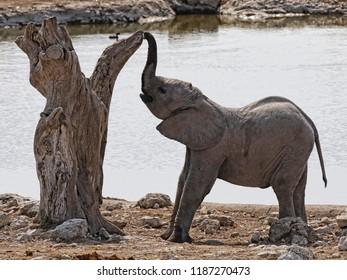 Elephant: baby playing with tree, Botswana, Africa