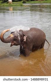 Elephant bath splashing water with trunk.Indian Elephant