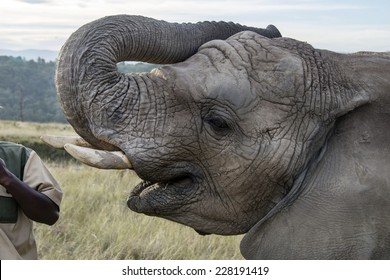 Elephant being hand fed at a game reserve in South Africa