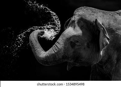elephant black background splashing water
