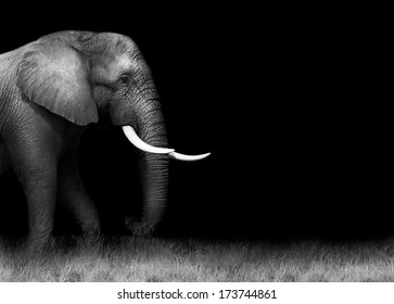 Elephant in black and white with copy space