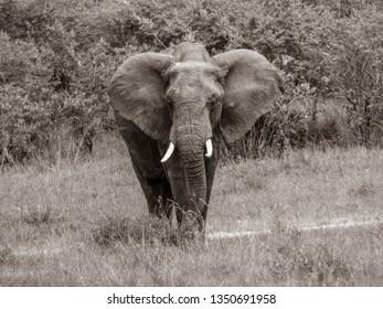 Elephant Black and White Photo