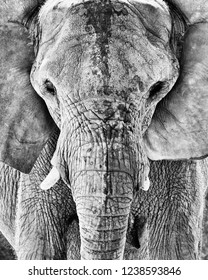 Elephant, Black and White Portrait