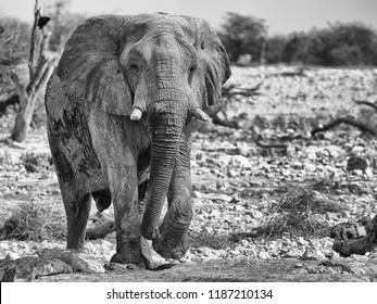 Elephant, Botswana, Africa