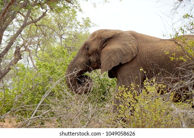 Elephant in brush at Kruger National Park in South Africa