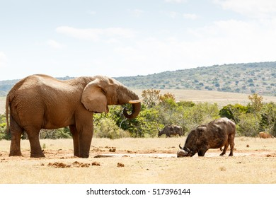 Elephant and Buffalo Living together in Addo