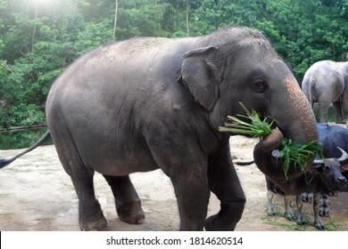 Elephant and buffaloes feed on green grass and tree leaves in zoo or reserve. Herbivores, cloven-hoofed animals