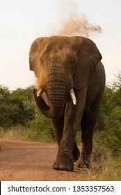 elephant bull dusting himself