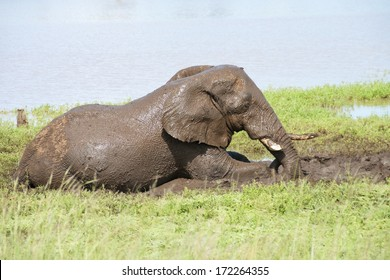 Elephant bull having a mud bath at Sable Dam in the Kruger National Park, South Africa.
