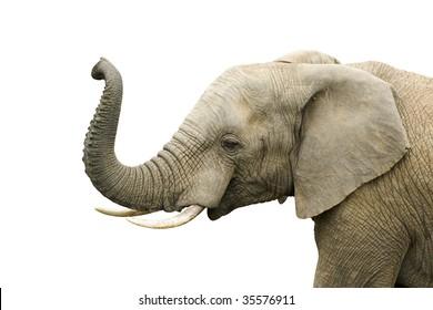 Elephant bull isolated on white