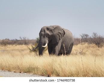 Elephant Bull next to Transkalahari Highway, Botswana - Shutterstock ID 1746983738