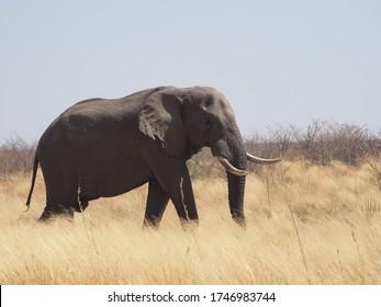 Elephant Bull next to Transkalahari Highway, Botswana - Shutterstock ID 1746983744