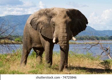 An elephant bull next to the Zambezi River, Mana Pools