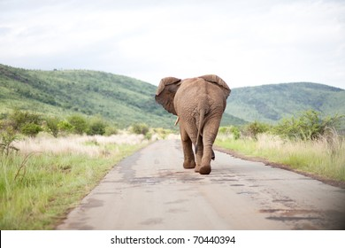 Elephant Bull in South Africa walking on a road