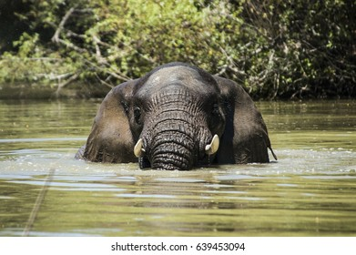 Elephant bull swimming in the Bushmans river in the Eastern cape South Africa