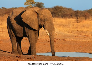 Elephant bull at waterhole,african bush elephant (loxodonta africana). Large bull elephant standing at the watering in dry brown savannah.