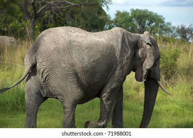 Elephant in the bush - Moremi Nature Reserve in Botswana