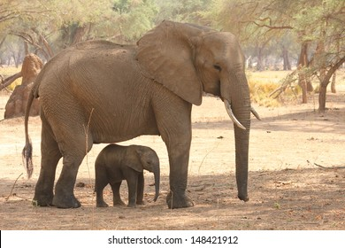 Elephant calf being shaded by mum