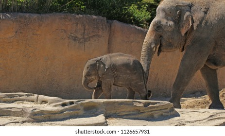 Elephant calf with his mother