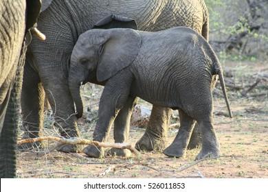 elephant calf near the elphant mother in the savanna - south africa