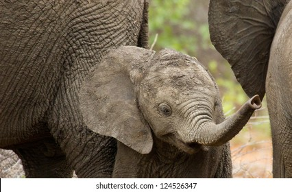 Elephant Calf with raised Trunk Portrait