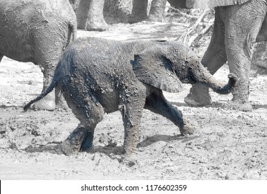 Elephant calf taking a mudbath, Moremi - Botswana