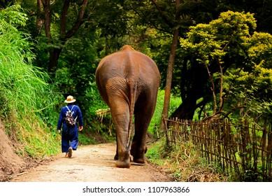 Elephant caretaker in Mae Rim District  chiangmai thailand.