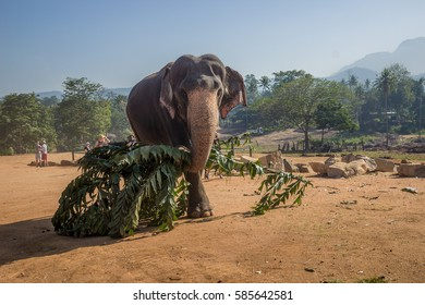 Elephant carying branches