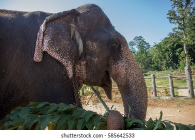 Elephant carying branches, close up