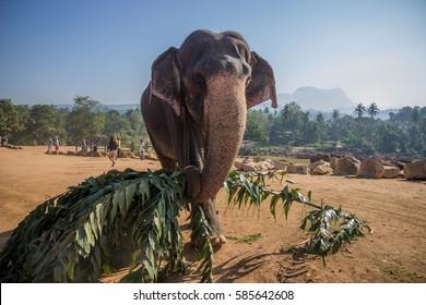 Elephant carying leaves