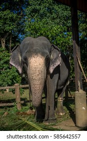 Elephant with chain
