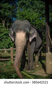 Elephant with chain eating