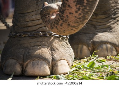 Elephant with chain on foot