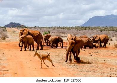 Elephant chasing a gazelle away