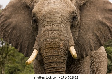 Elephant close up in Eastern Cape