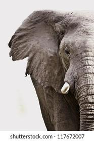 Elephant close up isolated on white