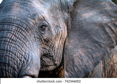 Elephant Close Up and Personal