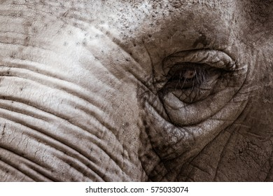 Elephant. Close up portrait