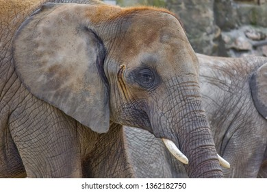 Elephant close up profile portrait