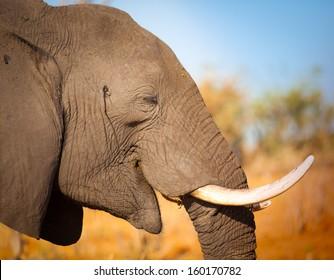 Elephant close up smiling