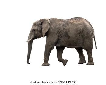 Elephant close up. Big grey walking elephant isolated on white background. Standing elephant full length close up.