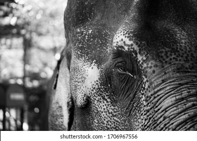elephant close up/ elephant eyes [black and white]