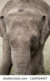 Elephant in closeup