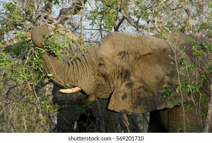 Elephant closeup in the savanna South Africa