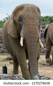 An elephant at Colchester Zoo.